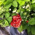 šumske jagode 1